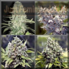 Female Indoor Mix Feminized 4 Marijuana Seeds